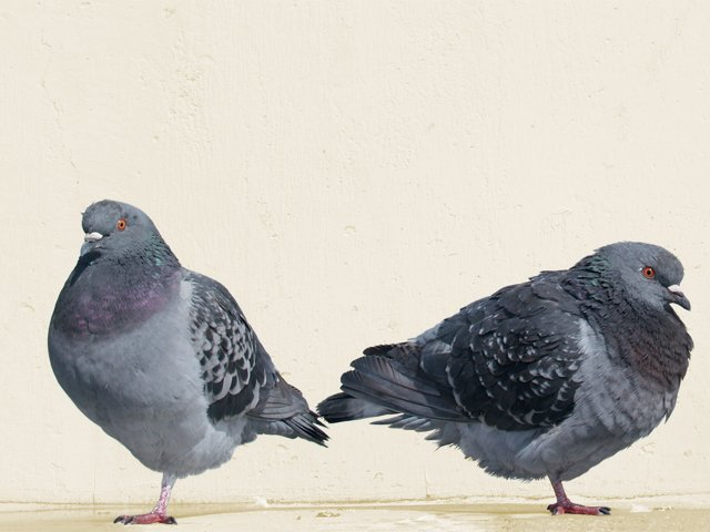 Pigeons: Pest or Pets?