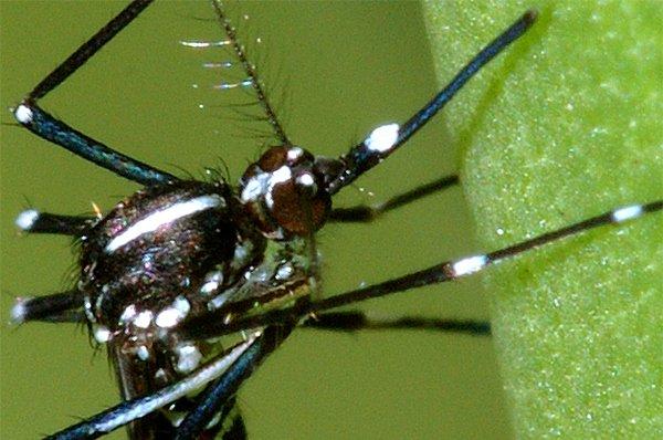 tigermosquito.jpg