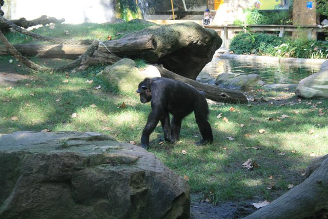 Barcelona Zoo - Chimp