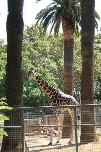 Barcelona Zoo - Giraffe