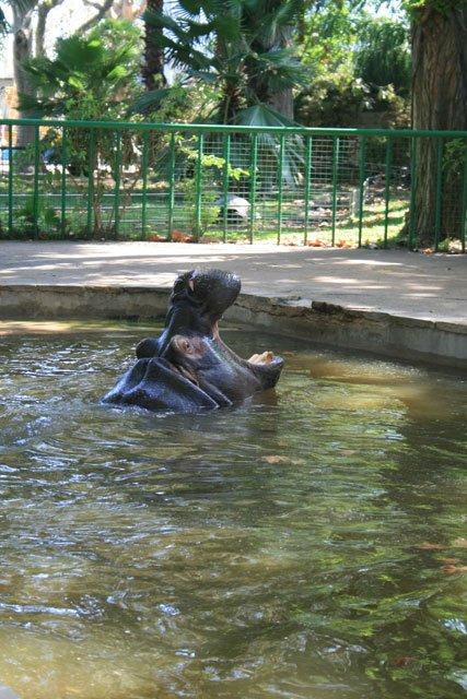 Barcelona Zoo - Hippo