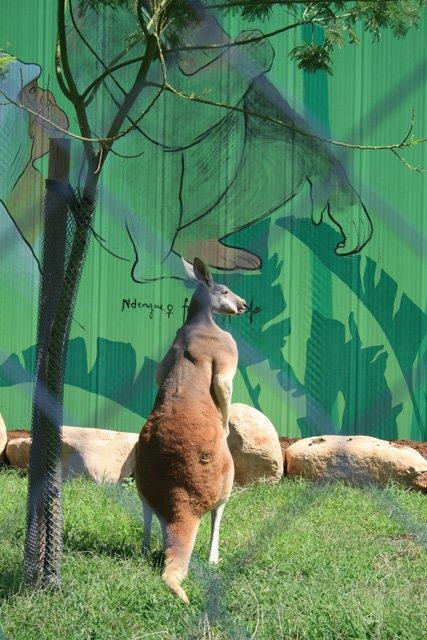 Barcelona Zoo - Kangaroo