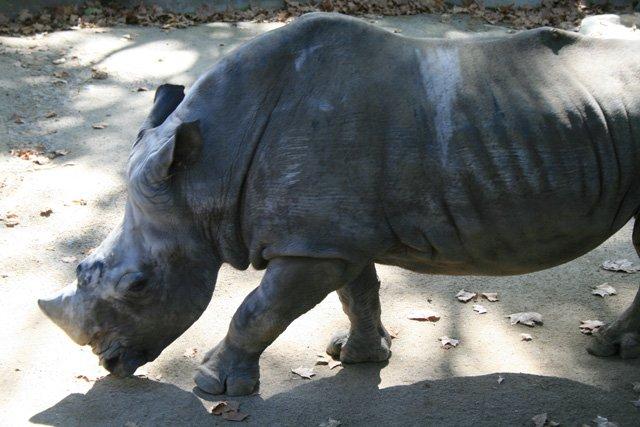 Barcelona Zoo - Rhino