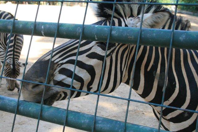 Barcelona Zoo - Zebra