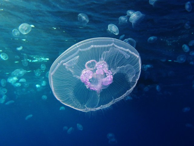 Moon_jellyfish_at_Gota_Sagher.JPG