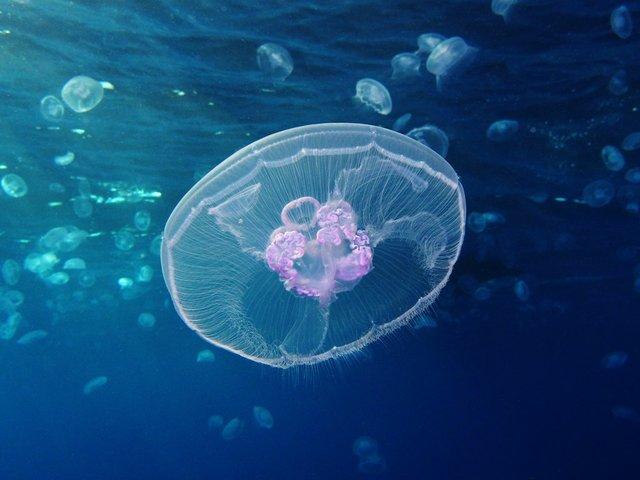 Moon_jellyfish_at_Gota_Sagher.JPG