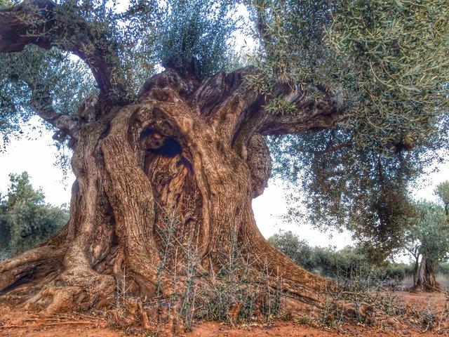 olivetree(notinuldecona).jpg