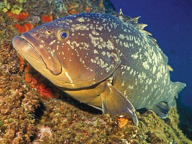 dusky-grouper.jpg