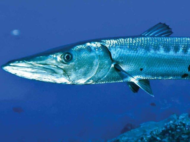 great-barracuda.jpg