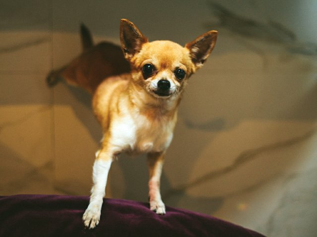A-Place-of-My-Own-Chihuahua.jpg