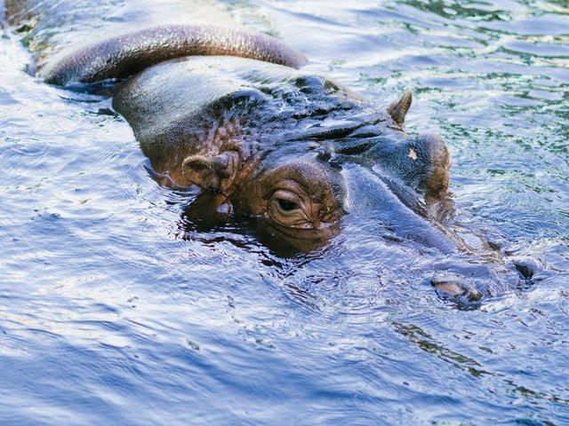 Zoo-report-hippo.jpg