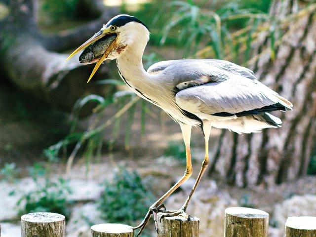 Zoo-Report-pelican.jpg