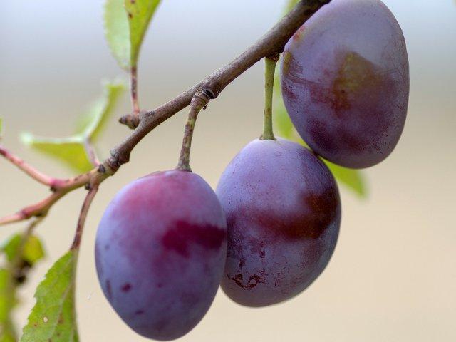 plums-growing-planting-plums.jpg