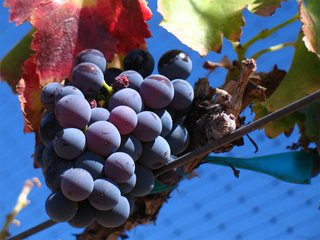 Grenache_noir_grapes.jpg