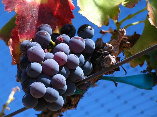 Grenache_noir_grapes.jpg