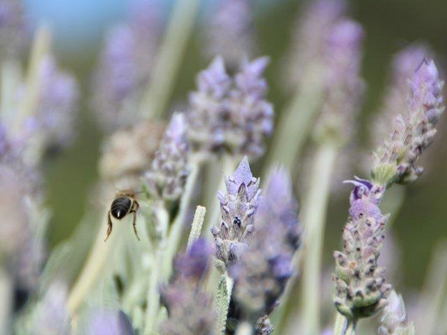 lavender-bee.jpg