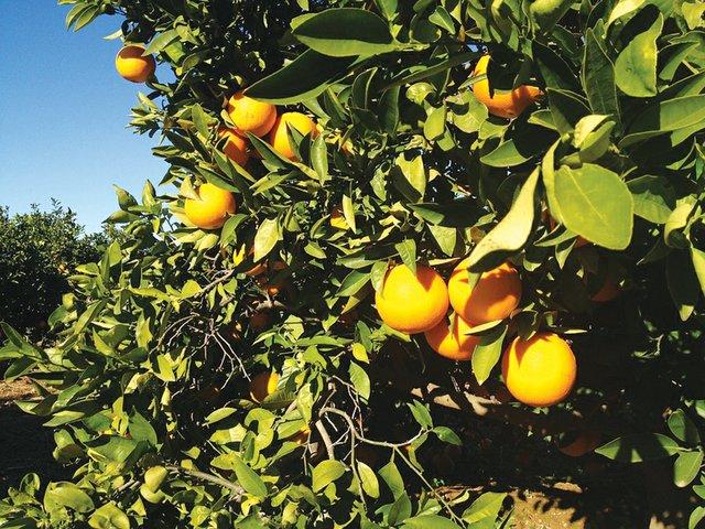 Valencia_oranges_main_photo.jpg
