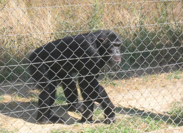 Chimpanzee at the Mona sanctuary
