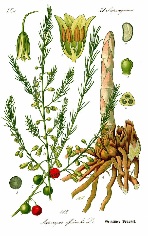 Illustration_Asparagus_officinalis0b.jpg