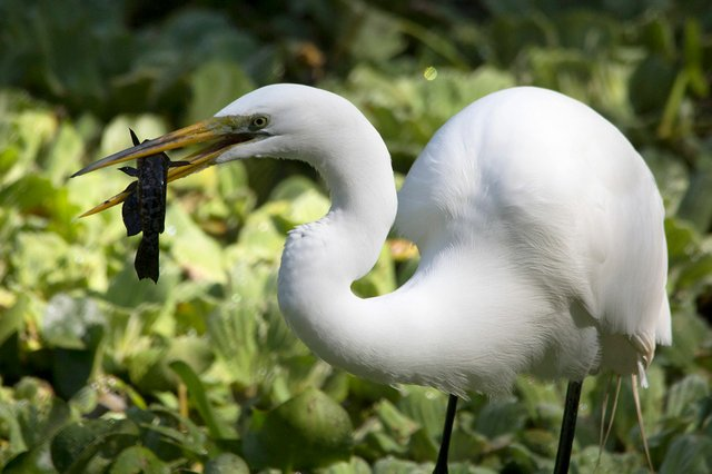 Great-egret-Dennis-Church-Flickr.jpg