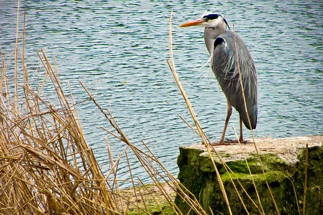 Grey-Heron-Gary-Knight-Flickr.jpg