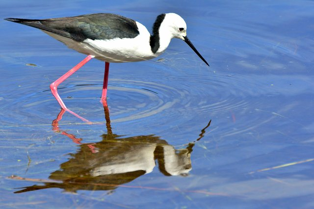 black-winged-stilt-Laurie-Boyle-Flickr.jpg