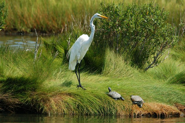 Great-egret-with-turtles,-Susan,-Flickr.jpg