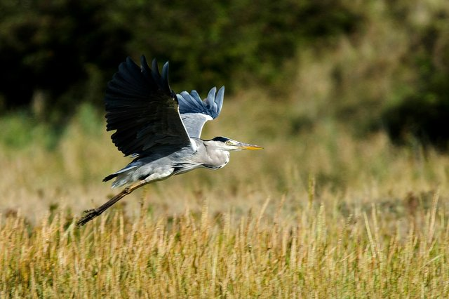 Grey-heron,-Mark-Fox-Flickr.jpg