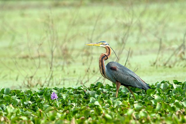 purple-heron-Koshy-Koshy-Flickr.jpg