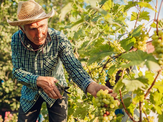 farmer-gathering-crop-grapes-ecological-farm-senior-man-cutting-grapes-with-pruner.jpg