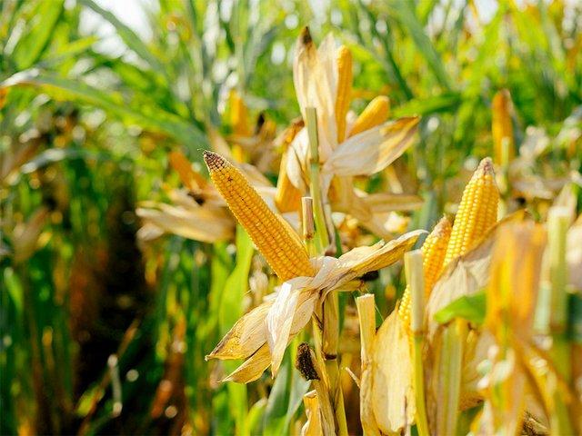 printed-yellow-lot-corn-cobs-field.jpg