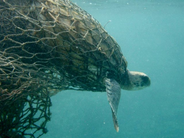 Sea-turtle-caught-in-fishing-net,-photo-courtesy-of-USFWS-Pacific-Region-(CC-BY-NC-2.0).jpg