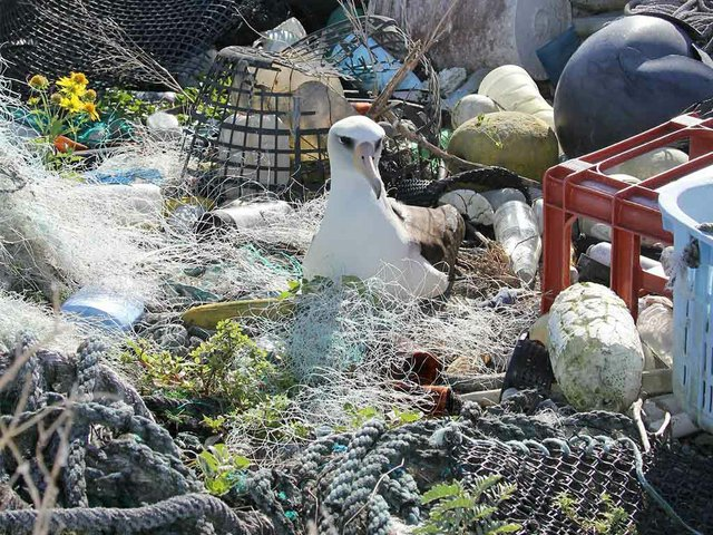 Laysan-albatross-nesting-in-marine-debris,-photo-courtesy-of-USFWS-Pacific-Region-(CC-BY-NC-2.0).jpg