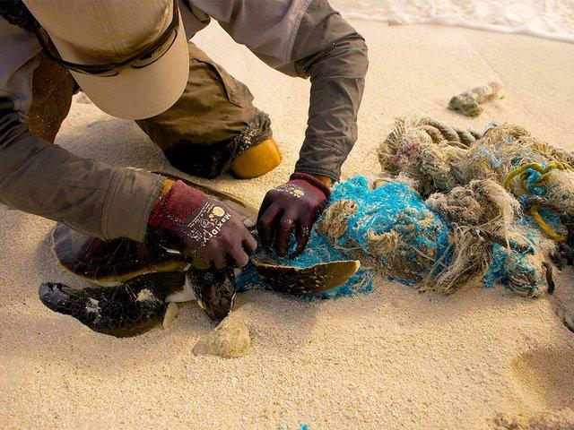 Sea-turtle-caught-in-marine-debris,-photo-courtesy-of-USFWS-Pacific-Region-(CC-BY-NC-2.0).jpg