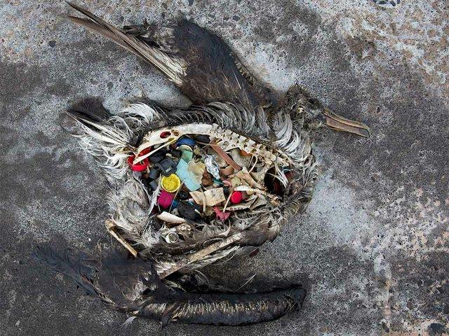 Black-footed-albatross-chick-with-plastics.,-photo-by-Dan-Clark,-courtesy-of-USFWS-Pacific-Region-(Public-Domain).jpg
