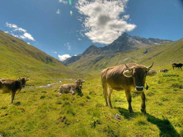cattle-in-mountains.jpg