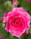 Bright pink roses at the Parc Cervantes