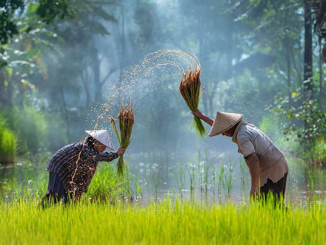 asian-farmer-transplant-rice-seedlings-rice-field-farmer-planting-rice.jpg