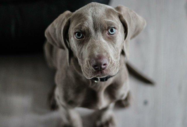 grey-puppy-looking-up.jpg