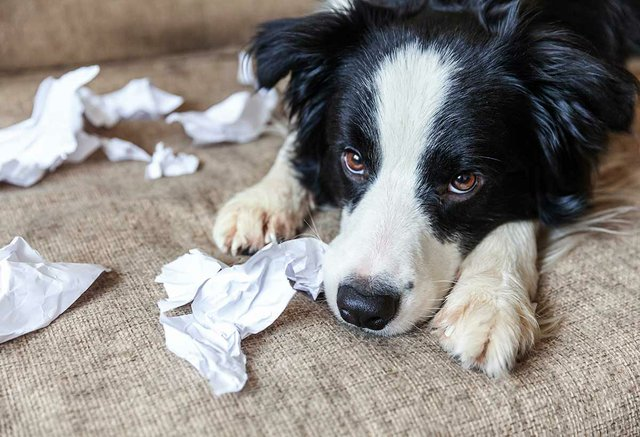 playful-puppy-dog-border-collie-after-mischief-biting-toilet-paper-lying-couch-home-guilty-dog-destroyed-living-room-damage-messy-home-puppy-with-funny-guilty-look.jpg