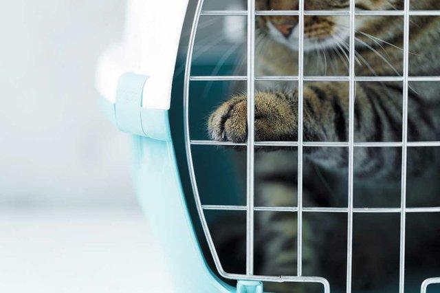 gray-taabby-cat-cage-transportation.jpg