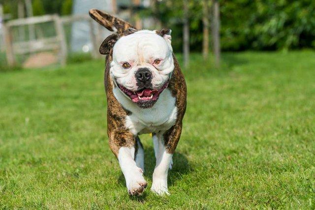 brindle-coat-american-bulldog-dog-grass-yard.jpg