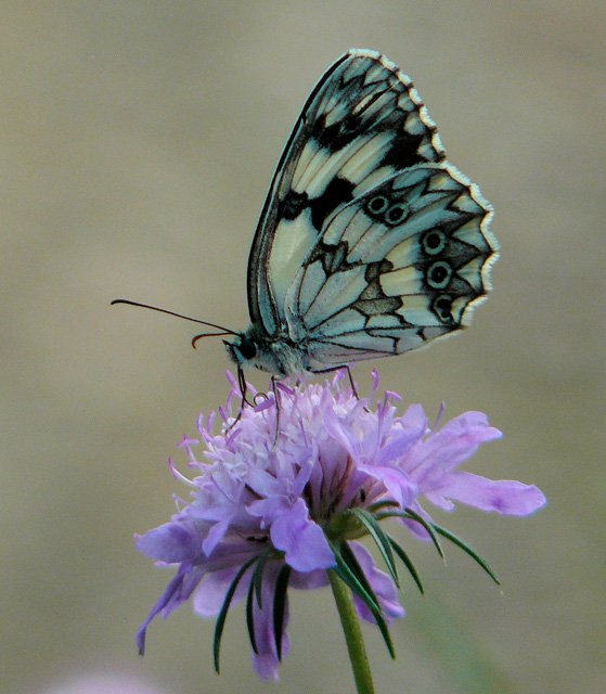 Iberian Marbled White