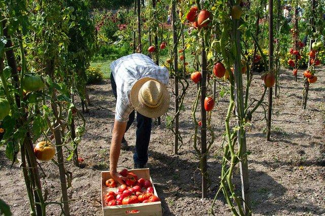 farmer-picking-tomatoes.jpg