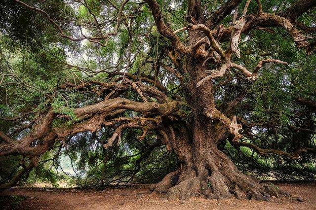 olive-trees.jpg