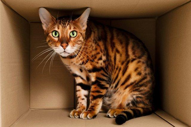 anxious-bengal-cat-hiding-in-box.jpg