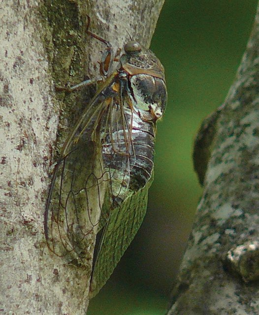 Cicada in the park