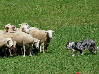 Sheepdog trials Llavorsi