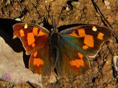 Nettle Tree Butterfly