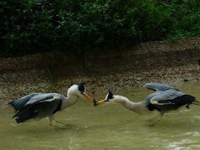 Herons - Tug of war
